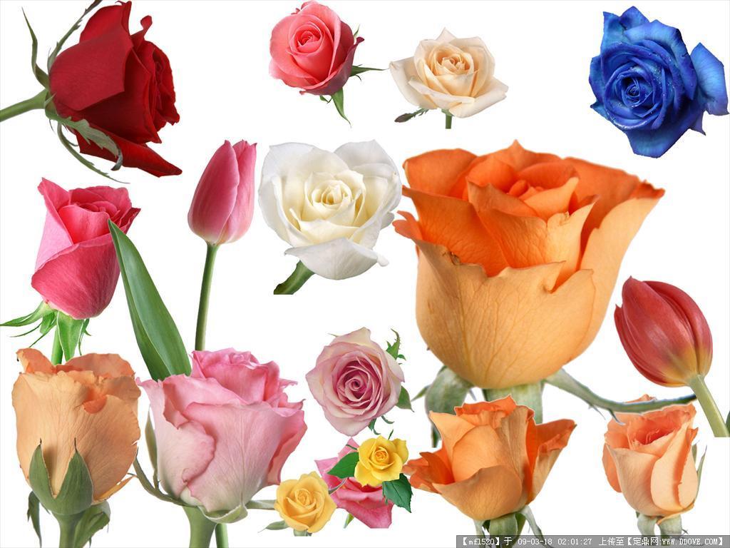几十种玫瑰花分层psd素材
