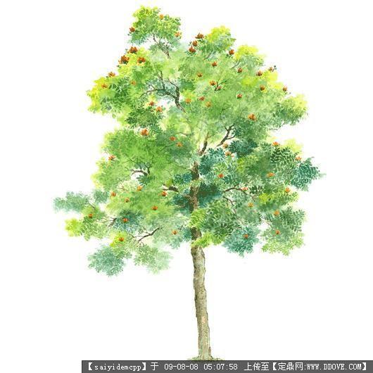 100个手绘园林植物立面图含树名——精典珍藏-火焰木.