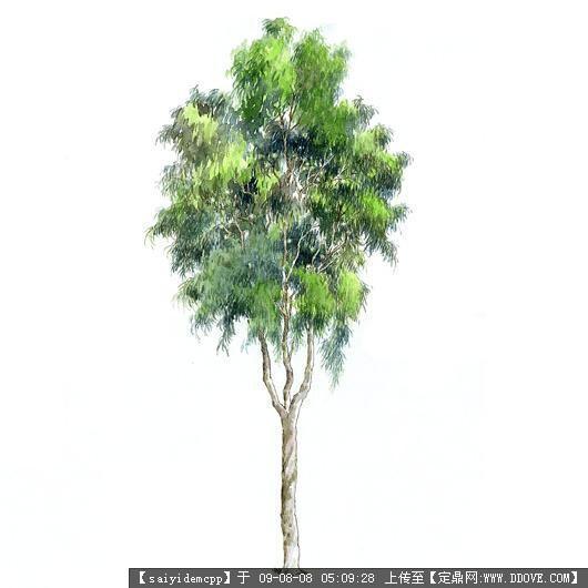 100个手绘园林植物立面图含树名——精典珍藏-柠檬桉.