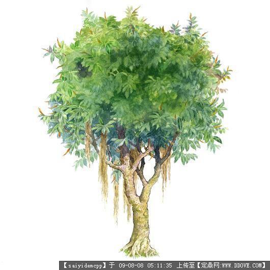 100个手绘园林植物立面图含树名——精典珍藏-印度橡树.