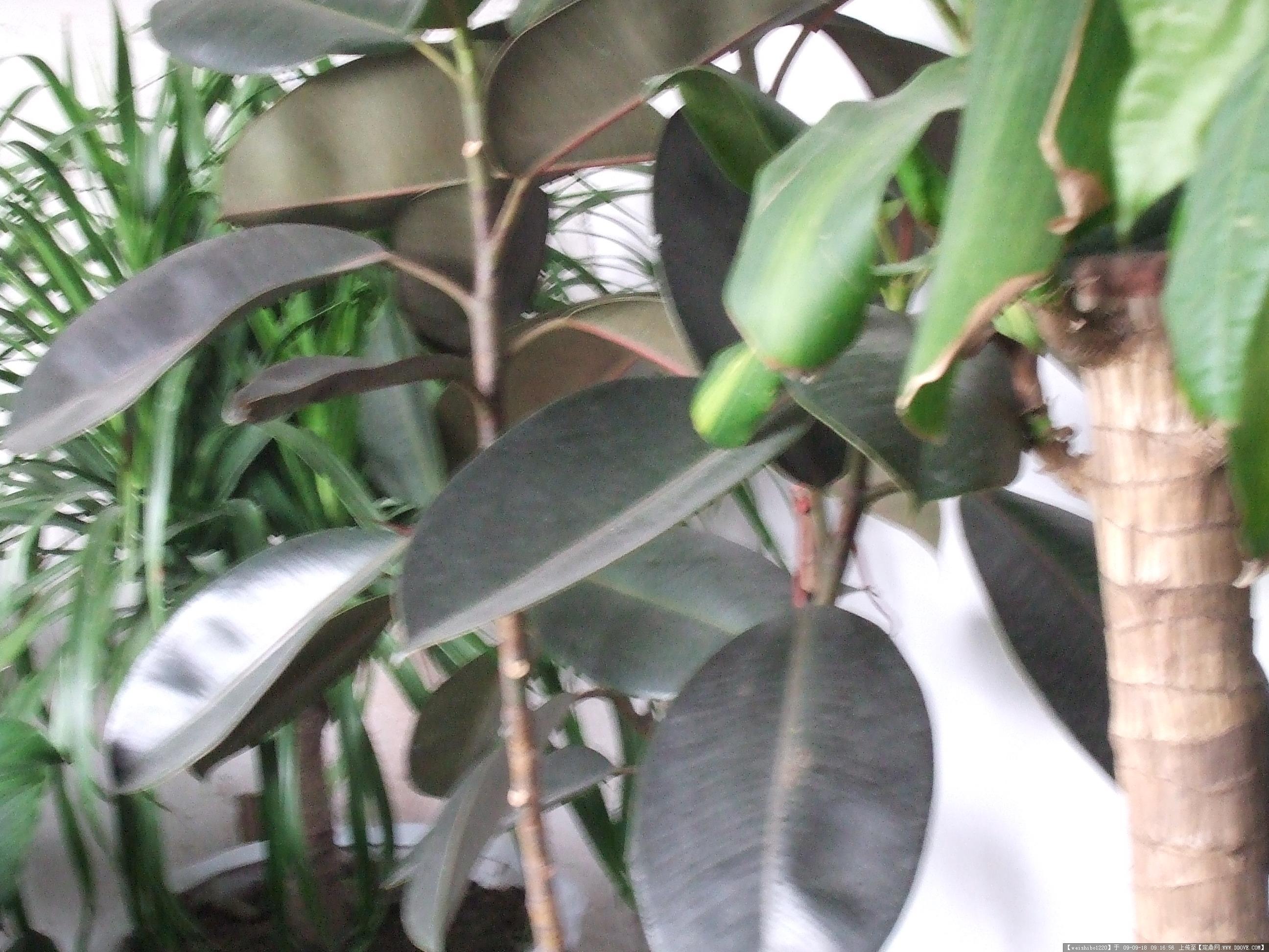 花卉图片-橡皮树 桑科榕属