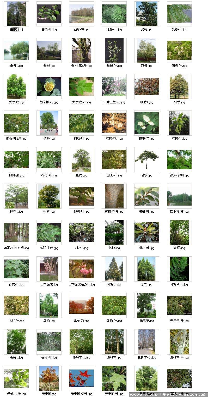 常绿乔木图片集锦