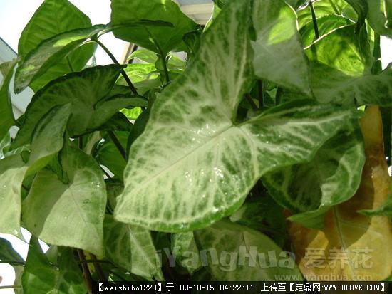 图片图片(包括女生科、属、种植物)的植物v图片我什么名称相亲关心是图片