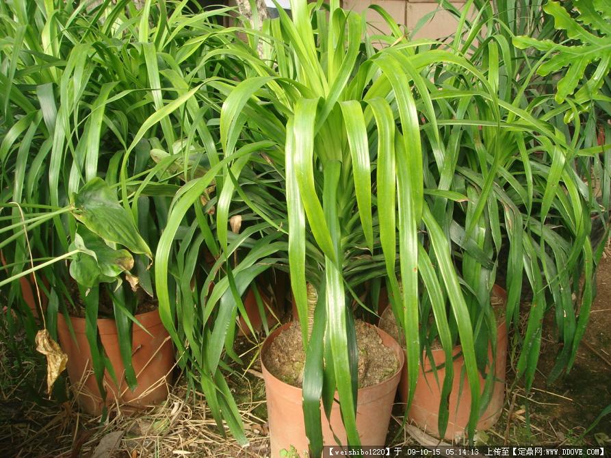 植物图片-龙血树 百合科龙血树属