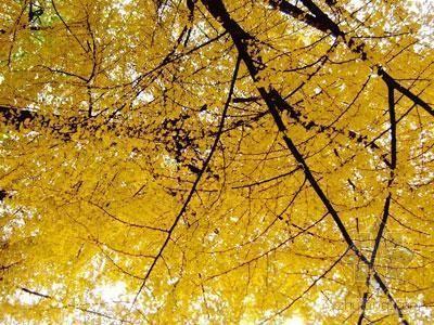 """银杏为""""神树"""",过去在树上挂满了写有祈祷祝福词句的"""