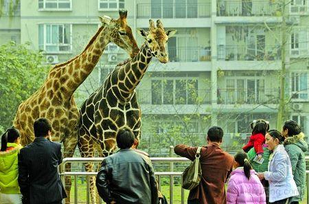 市民在重庆动物园观赏长颈鹿