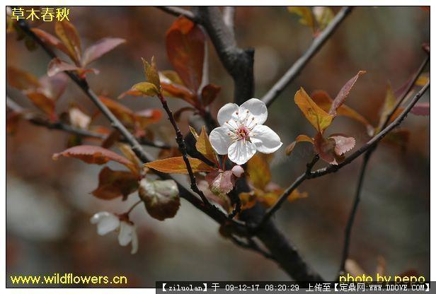 园林植物图片-红叶李.jpg