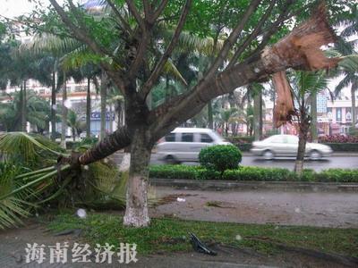 """海南:椰子树""""长翅膀""""""""飞""""上景观树?(图)"""