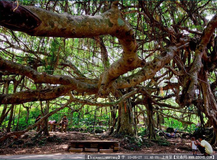 独木成林实景图片几张