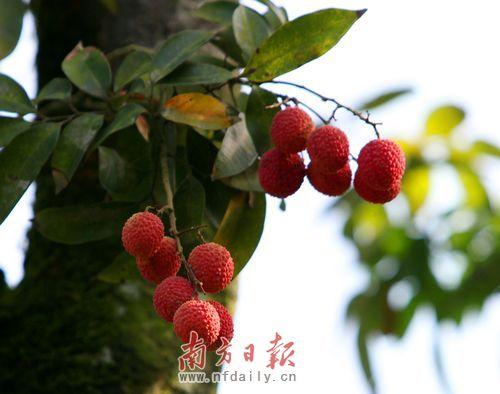 福建:春天落叶冬天开花